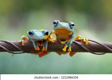Flying frog on branch, rachophorus reinwardtii, Javan tree frog