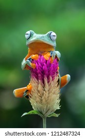 Flying frog on flower, beautiful tree frog on flower, rachophorus reinwardtii, Javan tree frog