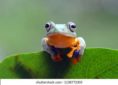 Flying frog on green leaves