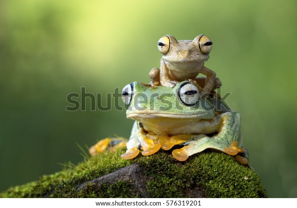 Flying frog sitting on body, beautiful tree frog on branch, rachophorus reinwardtii, Javan tree frog