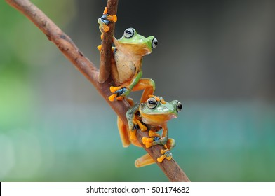 flying frog, tree frog, frog on snail, frog, frogs, frog in leaves, two frog