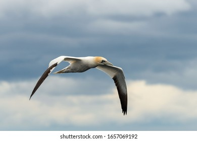 Flying gannet - large seabird with mainly white plumage