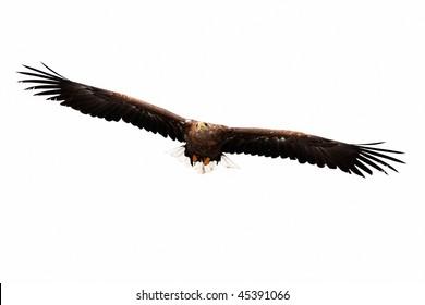 flying golden eagle on white background