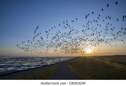 Flying goose in sunset Terschelling The Netherlands