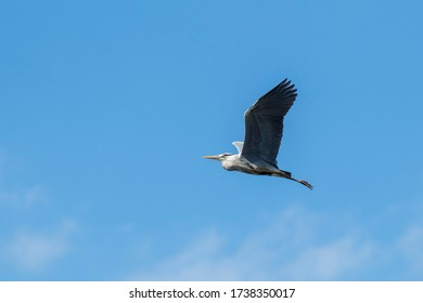 flying gray heron in the blue sky
