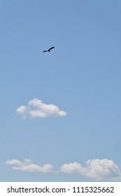 "Flying Great egret - Ardea alba. It is called ""Shira sagi"" in Japan."