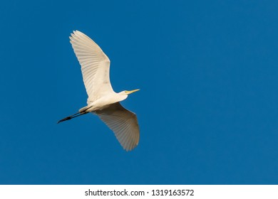 Flying Great Egret with blue sky as background