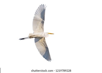 Flying Great egret, Egretta alba, isolated on white background