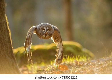 Flying great grey owl with backlight