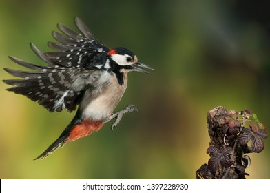 Flying Great Spotted Woodpecker - Dendrocopos major