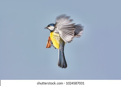 Flying great tit with nuts and open wings against blue sky background.