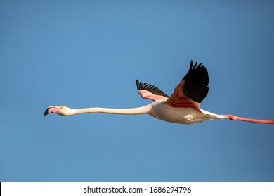 Flying Greater flamingo (Phoenicopterus roseus), Camargue, France, Pink bird on the blue sky. Action wildlife scene from nature. Nature travel in France.Flying Greater Flamingo, mediterranean vacation