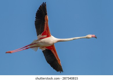 A flying Greater Flamingo (Phoenicopterus roseus) with open wings