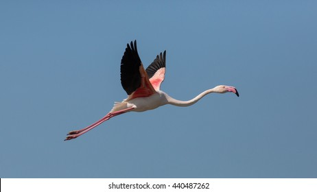 Flying Greater flamingo (Phoenicopterus roseus), Camargue, France