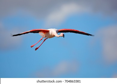 Flying Greater Flamingo, Phoenicopterus ruber, pink big bird with blue sky, Camargue, France. Action wildlife scene from nature. Nature travel in France.
