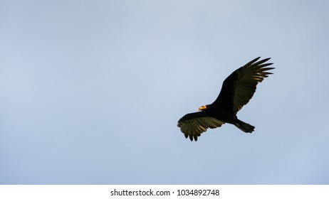 flying Greater Yellow-headed Vulture