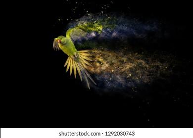 Flying green parrot. Black background. Dispersion Effect. Bird: Alexandrine Parakeet. Psittacula eupatria.