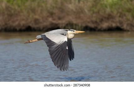 A flying Grey heron (ardea cinerea) with open wings