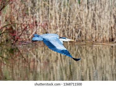 Flying grey heron bird with open wings