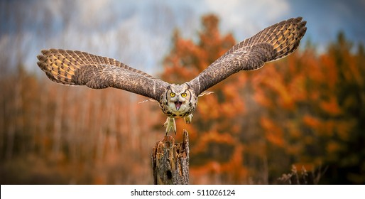 Flying Grey Horned Owl