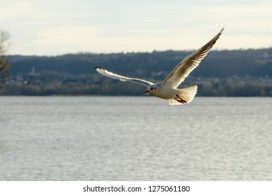 flying gull spreads feathers in sunlight at Verbano lake, shot in bright winter light at Angera, Verbano, Varese, Lombardy, Italy