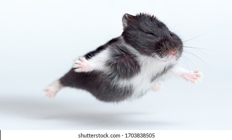 Flying Hamster isolated on the white background