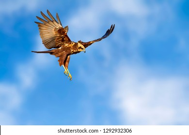 Flying hawk. Bird of prey. Isolated bird. Blue sky background.