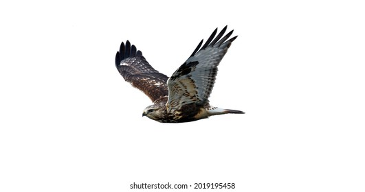 The flying hawk is isolated on a white background