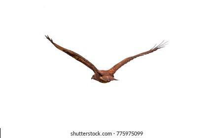 Flying (hawk) predator carries prey