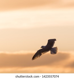 Flying Herring Gull by sunset against a colored sky