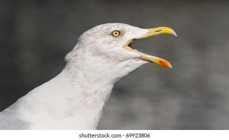 flying herring gull on a blue sky background (Moewe)