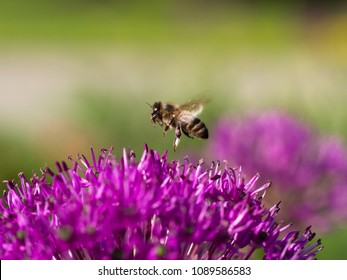 Flying honey bee collecting pollen from blossom of Allium cristophii( Persian onion or Star of Persia )