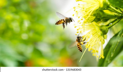 Flying honey bee collecting pollen at yellow flower.Bee flying over the yellow flower in blur background