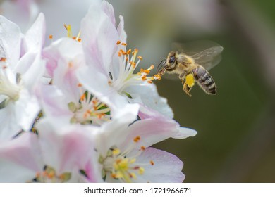 Flying honey bee collecting bee pollen from apple blossom.