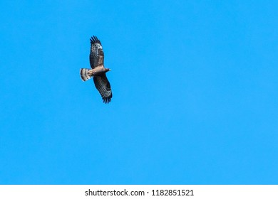 Flying Honey Buzzard, Pernis Apivorus, against blue skies in Sweden