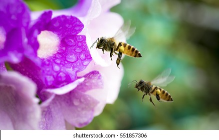 Flying honeybee collecting pollen at purple flower.