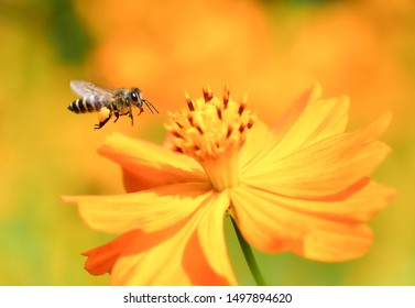 Flying honeybee collecting pollen at yellow flower.