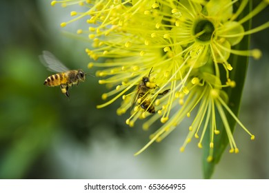 Flying honeybee collecting pollen at yellow flower in the spring season