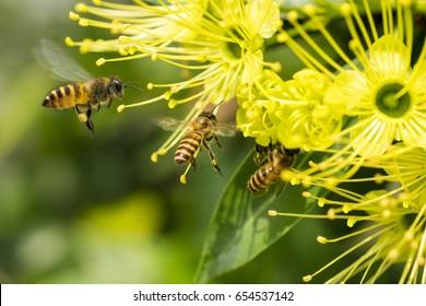 Flying honeybee collecting pollen at yellow flower
