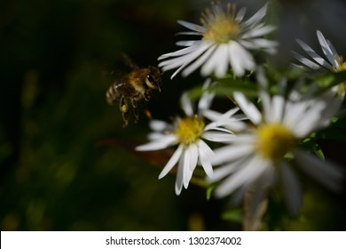 flying honeybee on beautiful white spring flowers on dark backgrounds. white flowers and yellow blossom with dark background
