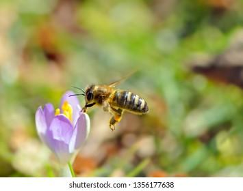 Flying honeybee pollinating a purple crocus flower in spring