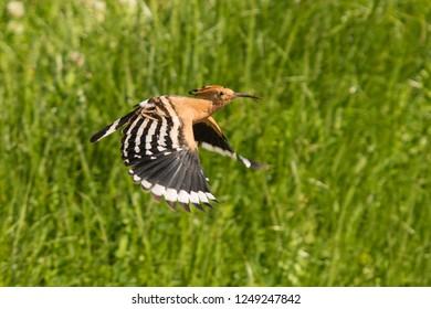 Flying hoopoe (Upupa epops) Malaga, Spain