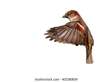 Flying House sparrow on white background (Passer domesticus)