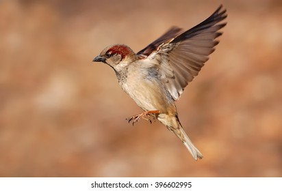Flying House sparrow (Passer domesticus)