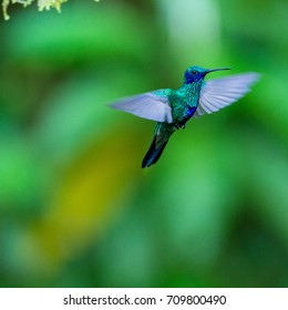 Flying hummingbird, Green violet-ear, Ecuador