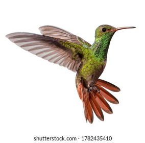 flying hummingbird isolated on white background