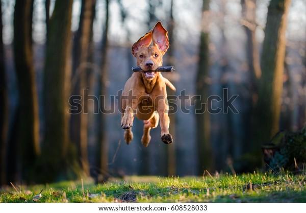 Flying Hungarian pointer hound dog