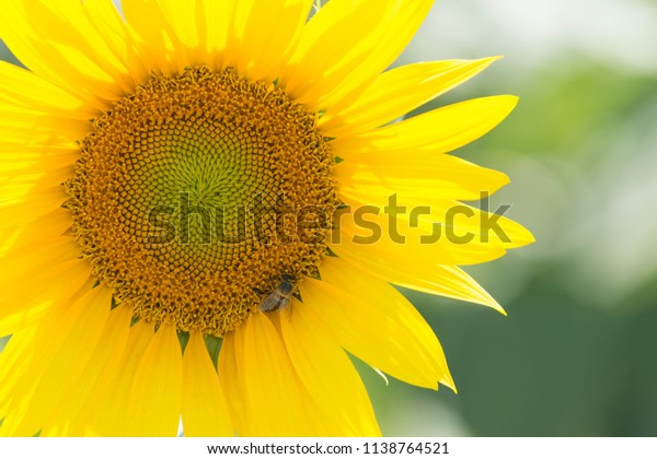 Flying insect that works, bee feeds on a field of sunflowers while pollinating