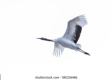 Flying Japanese red-crowned crane (Grus japonensis)