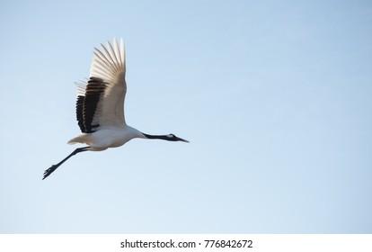 Flying Japanese red-crowned crane (Grus japonensis). At Tsurui village, Hokkaido, Japan - Shutterstock ID 776842672